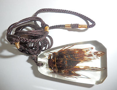 Insect Necklace Grass Cicada Mogannia hebes Specimen SD13 Clear