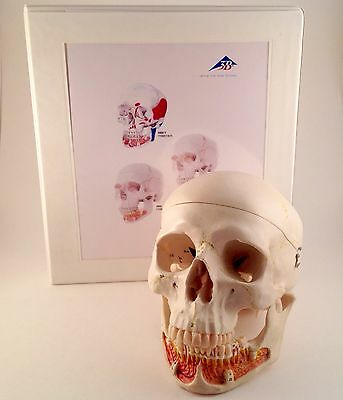 3B Scientific A22 Dental Skull Model Mint Condition & Booklet - Highly Detailed!