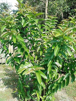 75 Fresh organic guava leaves - Grown in Florida - Harvested fresh to ship