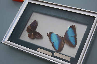 Vintage Exotic Butterflies Mounted & Framed Taxidermy Moths Insects
