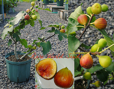 RARE French Fig tree 'Figue d'Or' indoor or outdoor! VERY HARDY!! seeds.