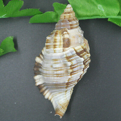 Beautiful top rare real sea Shell Conch ZZZ015