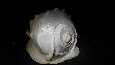Very Rare !!!   CASSIS MADAGASCARIENSIS  United States Virgin Islands NR.3