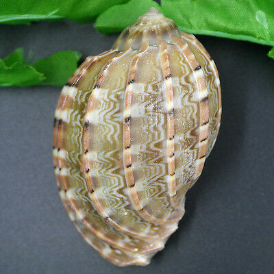 Beautiful top rare real sea Shell dragon head Conch ZZZ021