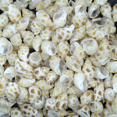 50pcs Beautiful top rare real sea Shell Conch YA005