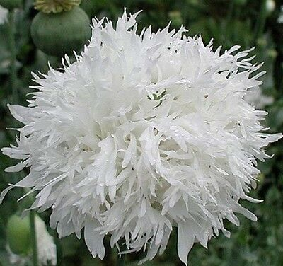 "Papaver laciniatum (Poppy) ""Swansdown"" x 50 seeds. Gift in store"