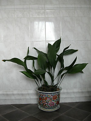 large indoor Aspidistra plant in planter/plate stand