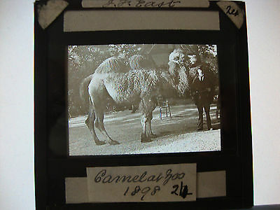 Magic Lantern Slide: Camel and Zoo Keeper (dated 1898)