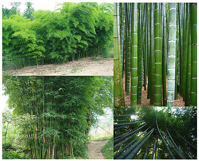 Chinese GIANT Bamboo Seeds - 100 Piece - Moso Bamboo - Winter hardy Screen