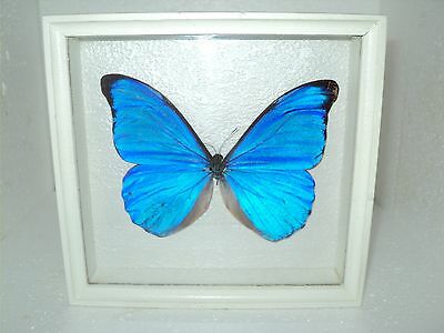 Real Insect: Morpho Butterfly in frame made of expensive wood !