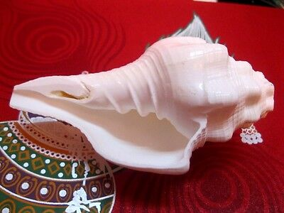 Left Handed (Utravarti Shankh) Voice Making Puja Conch Shell Shankha India