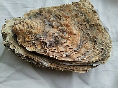 large oyster shell heavy both sides