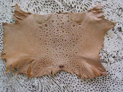 New Bufo Marinus Cane Toad Skin Craft Leather Collectible Taxidermy Tan 5.5""