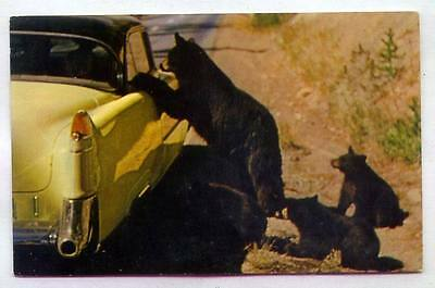 Beggar Bears At Yellowstone National Park WYOMING *1950s AUTO*