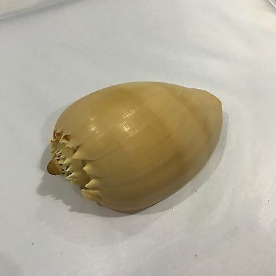 Large Conch Style Sea Shell, bathroom decoration, paper weight, craft idea