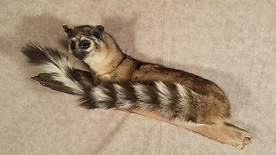 taxidermy ring tailed cat stuffed animal tail stuffed animal gift present new  2