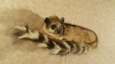 taxidermy ring tailed cat stuffed animal tail stuffed animal gift present new  3