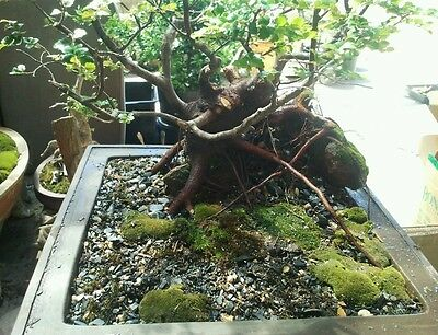 **BONSAI MOSS 500g OVER 12 SPECIES AVAILABLE ***