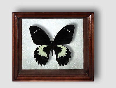 Real Insect: Papilio gambrisius in frame made of expensive wood !