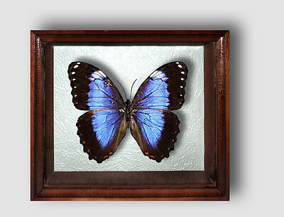 Real Insect: Morpho violacea in frame made of expensive wood !