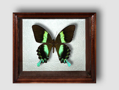 Real Insect: Papilio blumei in frame made of expensive wood !