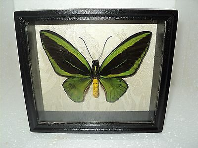 Real Insect: Ornithoptera poseidon male in frame made of expensive wood !