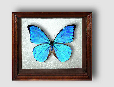 Real Insect: Morpho anaxibia in frame made of expensive wood !