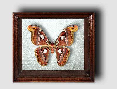 Real Insect: Butterfly Attacus atlas in frame made of expensive wood !