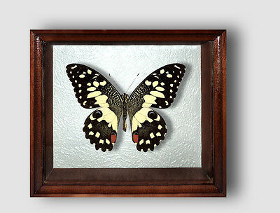Real Insect: Papilio demodocus in frame made of expensive wood !
