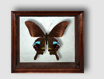 Real Insect: Papilio arcturus in frame made of expensive wood !