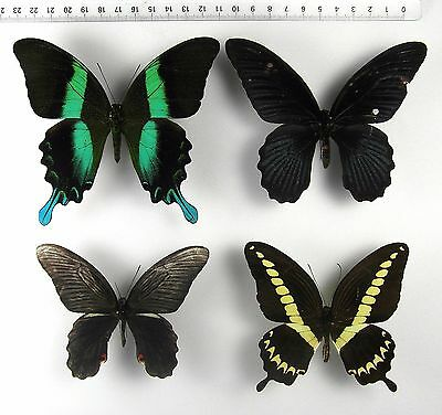 ++++++++++++++ INSEKTEN, SCHMETTERLINGE: 4 x PAPILIO sp. MIX +++++++++++++++