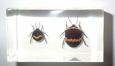Golden Stripe Shield Bug & Nymph Collection Set - Education Insect Specimen