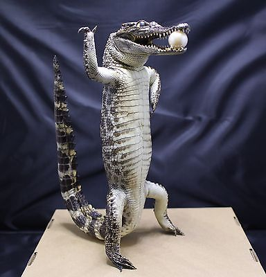 55 cm (21.65 inch) Stuffed Real Freshwater Alligator TL10