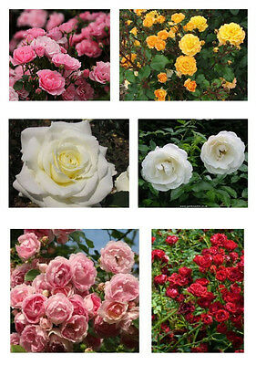 Selected, Colourful Rose Varieties. Order Now for Delivery from Mid January 2017