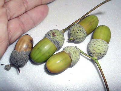 20 Species Of Oak Acorns For Botanical Study / Collections