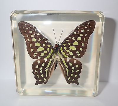 Tailed Jay Butterfly Graphium Agamemnon in Clear Block Education Insect Specimen