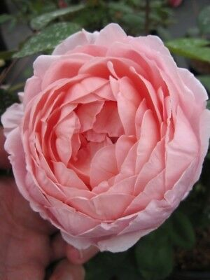 Englische Rose Brother Cadfael® - Rosa Brother Cadfael® - rosa - Duft++++ - Aust