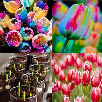 500pcs Rare Beautiful Rainbow Tulip Flower Bulbs Seeds Potted Garden Plants