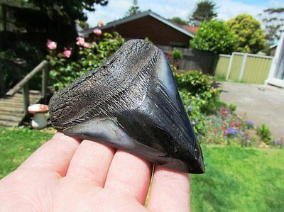 Stunning Megaldon Fossil Polished Symmetrical Killer Tooth Of Death