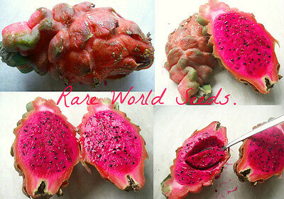 Extremely rare! RED megalantus hybrid 'Red Baron' Dragon Fruit Pitaya SEEDS.