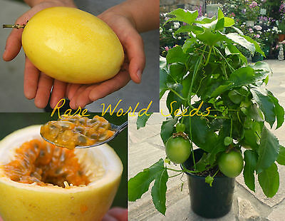 GIANT Yellow Passion FRUIT! (Passiflora edulis var flavicarpa) seeds.