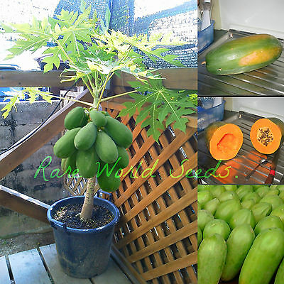NEW DWARF HYBRID 'Carinosa' Carica Papaya BIGGEST PRODUCER-MINI TREE !! seeds.
