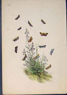 Old Antique Print Moth Butterfly Hand Colour C1860 Art 015761