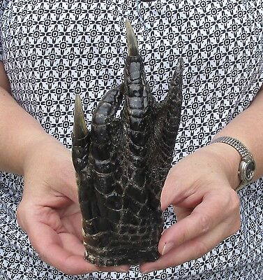 Real 7 inch Alligator Foot Gator head gator reptile feet # 23375