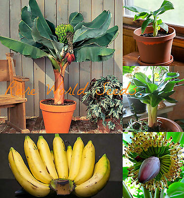Musa acuminata 'Super Dwarf Cavendish' banana IN or OUTDOOR! seeds.