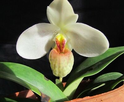 a growth(plant) Paphiopedilum emersonii BLOOM SIZE
