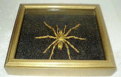 Real Insect: Golden spider  in frame made of expensive wood....creative work!