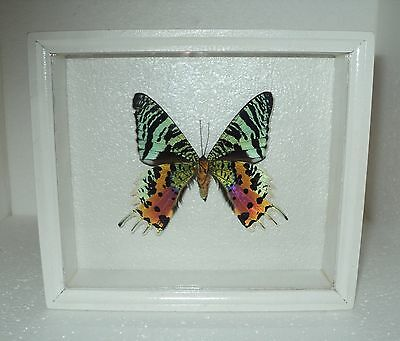 Real Insect: Butterfly papilio urania in frame made of expensive wood !