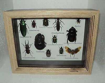 Real Insect: A collection of 12 exotic insects in the frame !