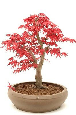 Japanese RED Maple / Japanese maple - 20 Seeds - Tree & Bonsai suitable
